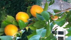 de los kakis-fruta