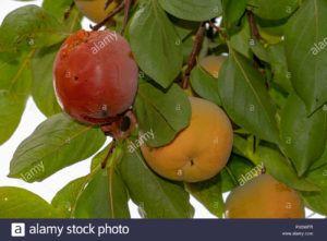 fruta kaki