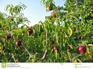 fruta nectarina