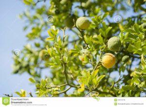 frutas amarillas