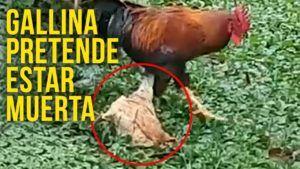 gallina o huevo vegano