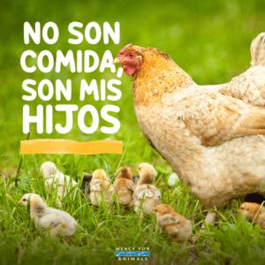 gallinas huevos vegano