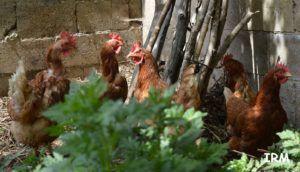 gallinas ponedoras de huevos vegano