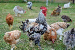 gallinas y huevos vegano