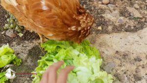 huevo o la gallina vegano