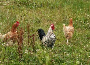 huevos de animales vegano