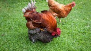 huevos de gallinas vegano
