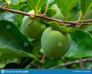 kaki fruta