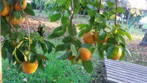 kakis fruta
