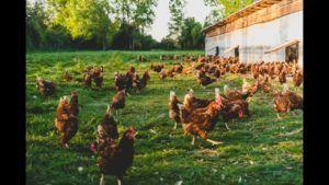 la gallina o el huevo vegano