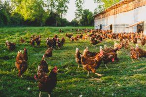 vegano huevos de gallina