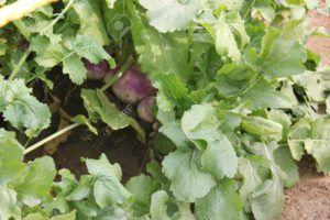 verdura de color morado