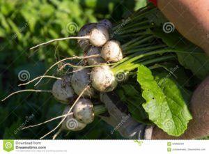 verdura nabo